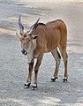 Taurotragus oryx qtl1.jpg
