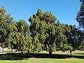 Taxodium distichum in Kibbutz Hazore'a.jpg