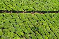Beautiful tea estates in Munnar
