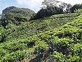 Tea plantation Mahe Seychelles.jpg