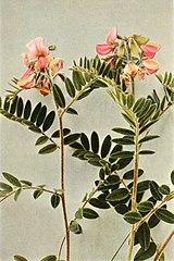 Tephrosia virginiana WFNY-108B.jpg