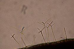 Tetrachaetum elegans 01.jpg