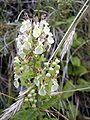 Teucrium scorodonia3.jpg