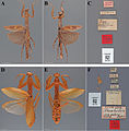 The-type-material-of-Mantodea-(praying-mantises)-deposited-in-the-National-Museum-of-Natural-zookeys-433-031-g014.jpg