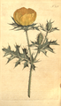 The Botanical Magazine, Plate 243 (Volume 7, 1794).png