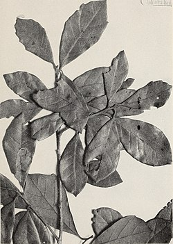 The Central American species of Quercus (1942) (20594767561).jpg