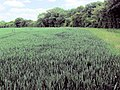 The Odd One Out - Alone in a monoculture - geograph.org.uk - 1353124.jpg
