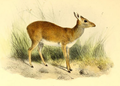 The book of antelopes (1894) Madoqua guentheri.png