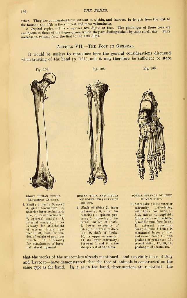 Filethe Comparative Anatomy Of The Domesticated Animals Page 152
