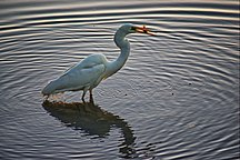 Pulbah Island-Important Bird Area-The eastern great egret catching fish in Lake Macquarie