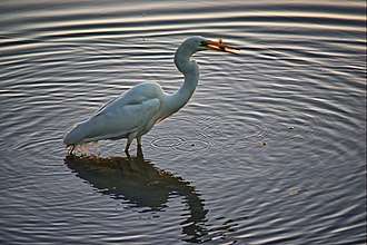 Lake Macquarie (New South Wales) - The eastern great egret catching fish in Lake Macquarie