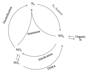 Anammox - Figure 2. The biological N cycle. DNRA, dissimilatory nitrate reduction to ammonium.