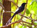 The songbird at Sarhi, Kanha.jpg