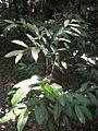Theobroma cacao 1c.JPG