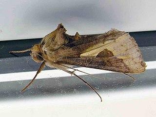 Thysanoplusia.orichalcea.jpg