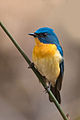 Tickell's Blue Flycatcher Male.jpg