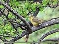 Tickell's Leaf Warbler (Phylloscopus affinis) (34612652650).jpg