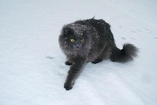 Chantilly-Tiffany Breed of cat