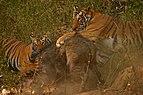 Tiger's killing wild boar.jpg
