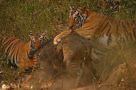 tiger penis pulver