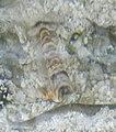 Tiger-Pistol-Shrimp-3-Alpheus bellulus-Wikimedia.jpg