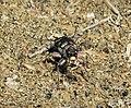 Tiger Beetle. Cicindela hybrida albanica (44099928054).jpg