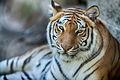 Tiger Closeup (19516666471).jpg
