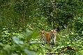 Tiger DSC2270-Edit.jpg