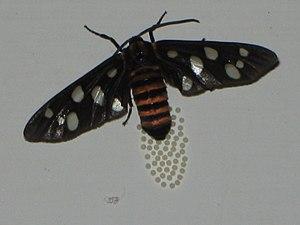 Arctiinae (moth) - Tiger moth laying eggs