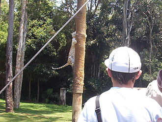 Tiger Island (Dreamworld) - One of the tigers retrieving food from the top of a post during the show.