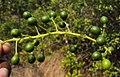 Tinospora cordifolia fruits 03.JPG