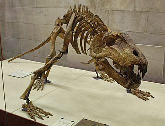 Dinocephalia - Skeleton of Titanophoneus potens, a carnivorous dinocephalian of the Middle Permian