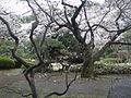 Tokyo cherry blossom 3.jpg