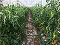 Tomates à Briec.jpg