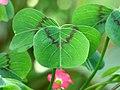 Trébol de cuatro hojas (Oxalis tetraphylla) - Flickr - Alejandro Bayer.jpg