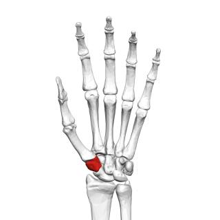 Trapezium (bone) Bone of the wrist