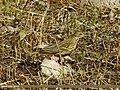 Tree Pipit (Anthus trivialis) (15862385526).jpg