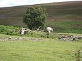 Tree and sheep - geograph.org.uk - 510905.jpg