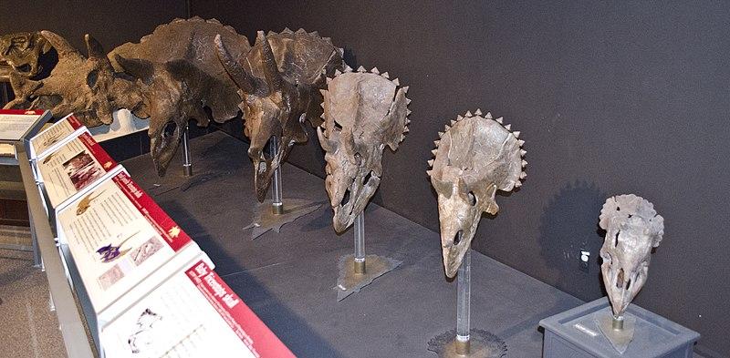File:Triceratops ontogeny.jpg