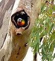 Trichoglossus moluccanus at nest, Brisbane, Queensland, Australia.jpg