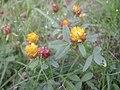 Trifolium badium497.JPG