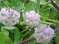 Trifolium fragiferum FruitsCloseup 2010 5 09 DehesaBoyaldePuertollano.jpg