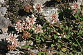 Trifolium pallescens (Moränen-Klee) IMG 28570.JPG