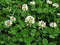 Trifolium repens1.jpg