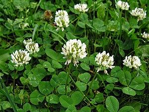 Trifolieae - Trifolium repens