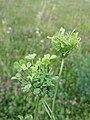 Trifolium repens (subsp. repens) sl16.jpg