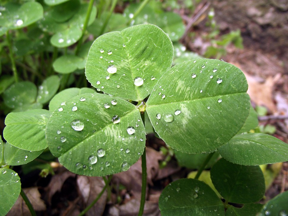 Trifolium repens Leaf April 2, 2010