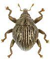 Trigonopterus taenzleri holotype - ZooKeys-280-001-g087.jpg
