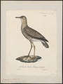Tringoides bartramius - 1825-1834 - Print - Iconographia Zoologica - Special Collections University of Amsterdam - UBA01 IZ17400145.tif
