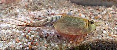 Kilbikuline (Triops) sp